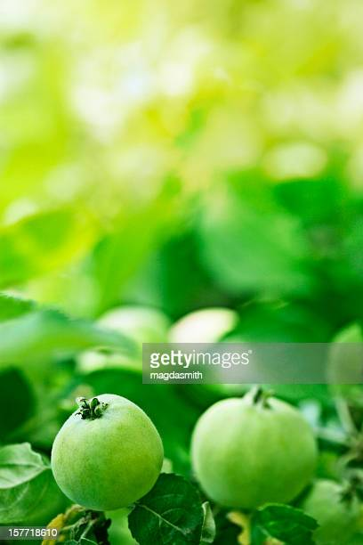 green apples on brach - unripe stock photos and pictures
