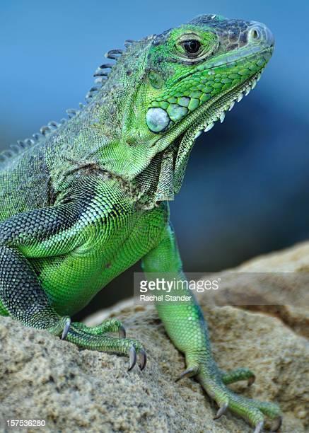 Green Aruba Iguana
