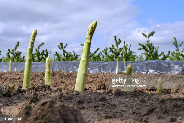 green asparagus in field - asparagus stock pictures, royalty-free photos & images