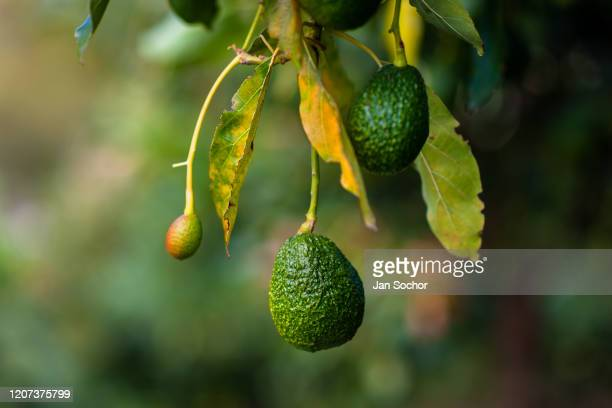 Green avocados are seen growing on a tree at a plantation on October 16, 2019 near Medellín, Colombia. Colombian avocado industry has experienced a...