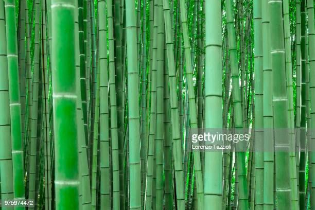 green bamboo forest, arashiyama, kyoto, japan - bamboo stock photos and pictures