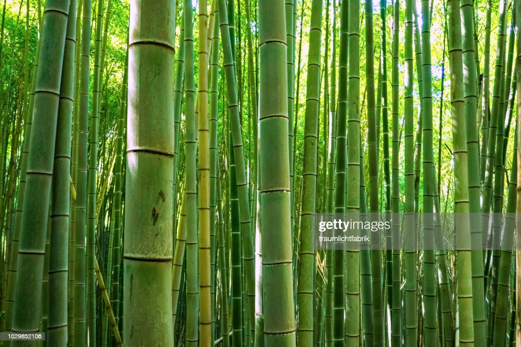 green bamboo forest : Stock Photo