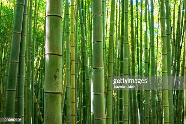 green bamboo forest - bamboo stock photos and pictures