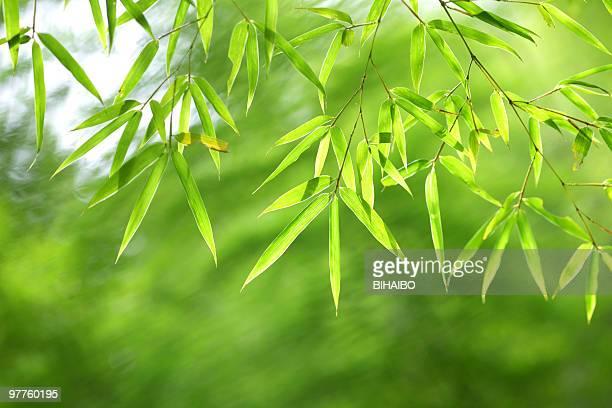 verde folhas de bambu - folha de bambu - fotografias e filmes do acervo
