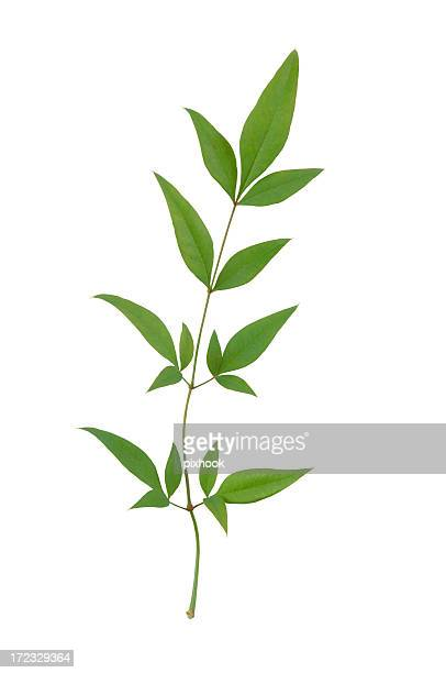 Grünen Bambus-Blätter mit Path