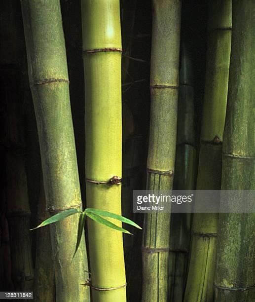 green bamboo stalks - 竹 ストックフォトと画像