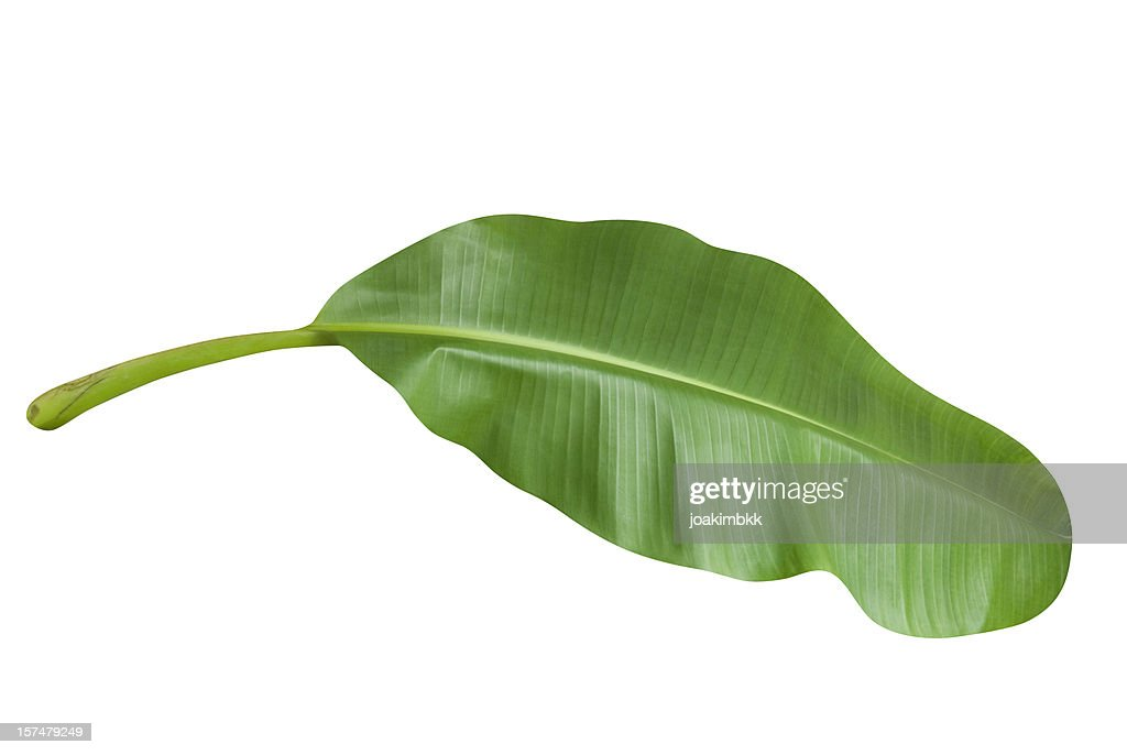 Green banana leaf isolated on white with clipping path : Stock Photo