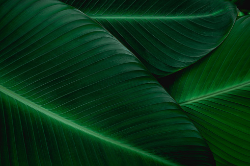 green banana leaf 1146491866