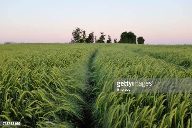 Green barley fields, Niort, France