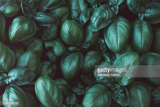 green basil growing in the garden, grass background close-up. - italian food stock pictures, royalty-free photos & images