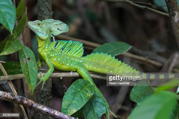 Green Basillisk Lizard