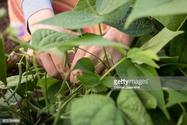 Green bean picking, Besançon, France