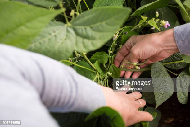green bean search, besançon, france - bush bean stock photos and pictures