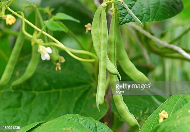 green beans - crop plant stock pictures, royalty-free photos & images