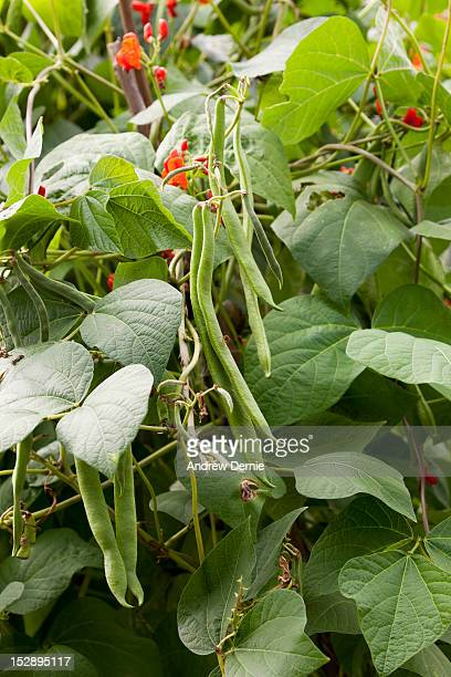 green beans - runner beans - andrew dernie stock pictures, royalty-free photos & images