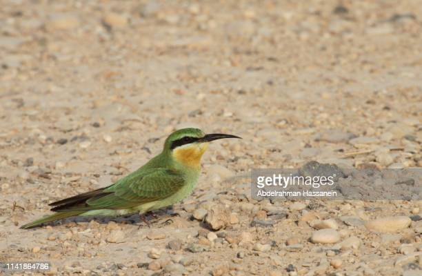 green bee eater at the qatari desert - 2010 2019 stock pictures, royalty-free photos & images
