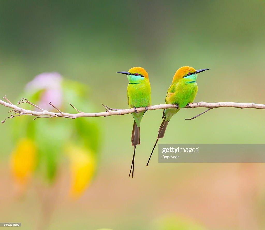 Abeja Eater verde  : Foto de stock