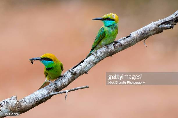 green bee eaters on tree branch - yellow perch stock photos and pictures