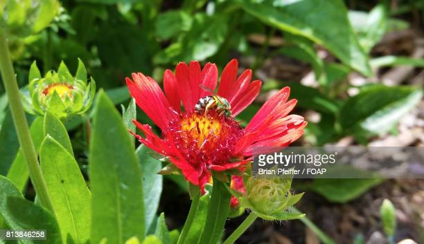 Green bee on red flower