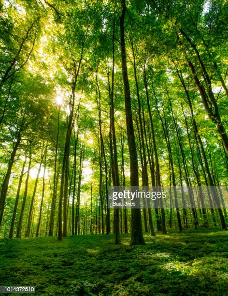 green beech forest one early spring morning - beech tree stock pictures, royalty-free photos & images