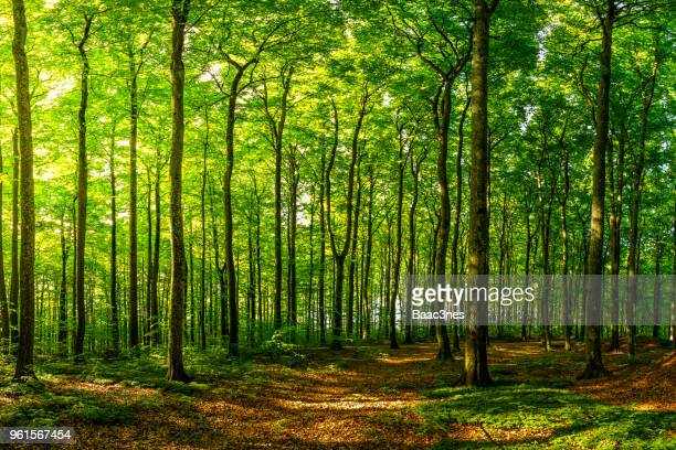 green beech forest one early spring morning - floresta - fotografias e filmes do acervo