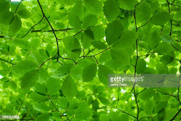 Green Beech Leaf Canopy