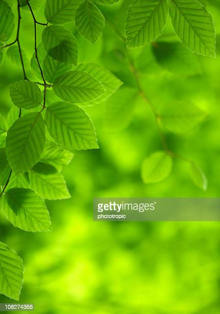 green beech leaves - lush stock pictures, royalty-free photos & images