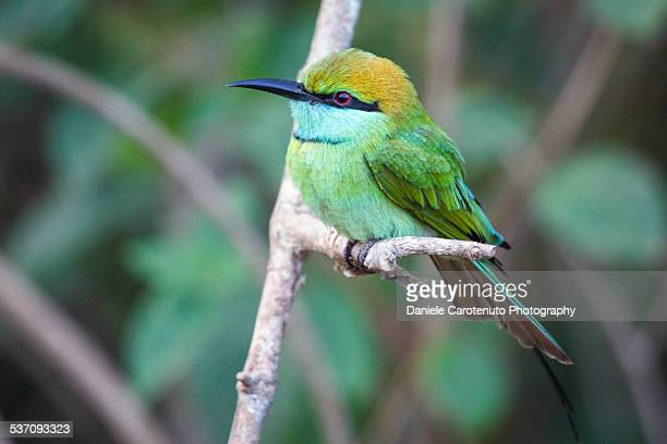 green bee-eater - daniele carotenuto stock pictures, royalty-free photos & images