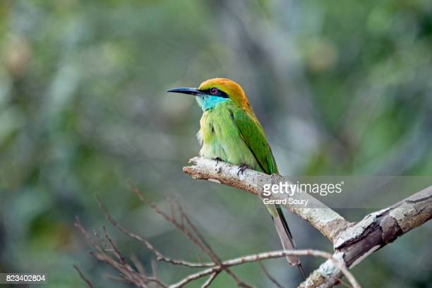 A green Bee-Eater sitting on a branch