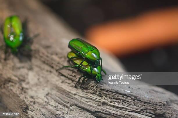 Green beetles in love