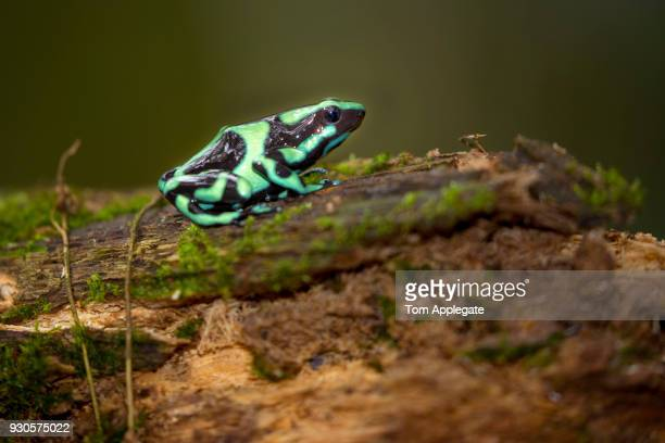 green black poison arrow frog - 熱帯雨林 ストックフォトと画像