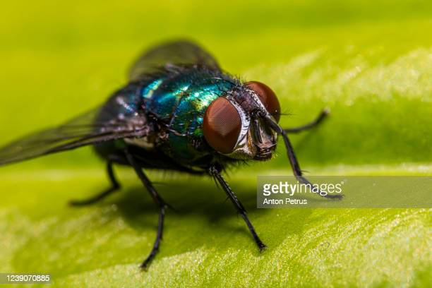 green blowfly (lucilia sericata) on a leaf close-up - bubonic plague stock pictures, royalty-free photos & images