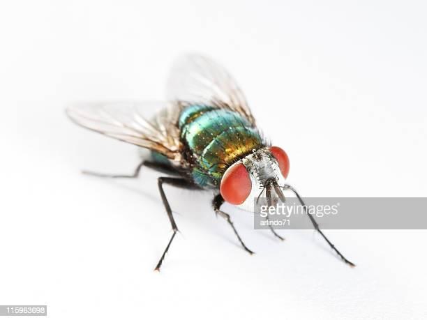 Green bottle fly 02