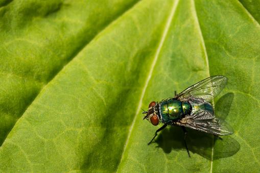 Green Bottle Fly 984344526