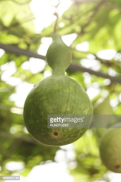 green bottle gourds on vine, calabash - bottle green stock pictures, royalty-free photos & images