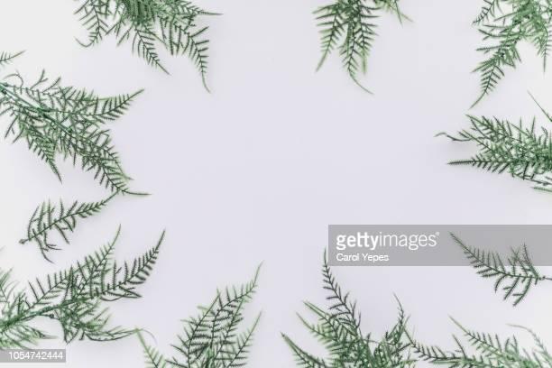 green branchs in frame.top view.white background - botánica fotografías e imágenes de stock