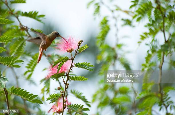 green breasted mango hummingbird - tobago stock pictures, royalty-free photos & images