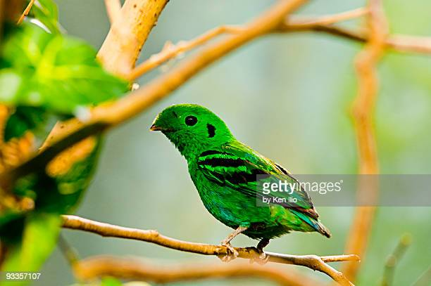 green broadbill   - ken ilio stock pictures, royalty-free photos & images