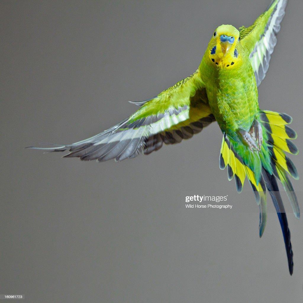 Green Budgerigar in flight : Stock Photo