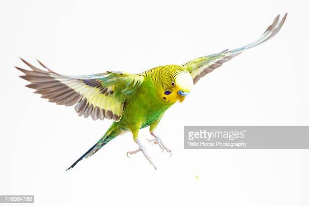 green budgerigar in flight - oiseau tropical photos et images de collection