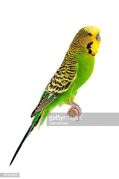 green budgie - parakeet stock photos and pictures