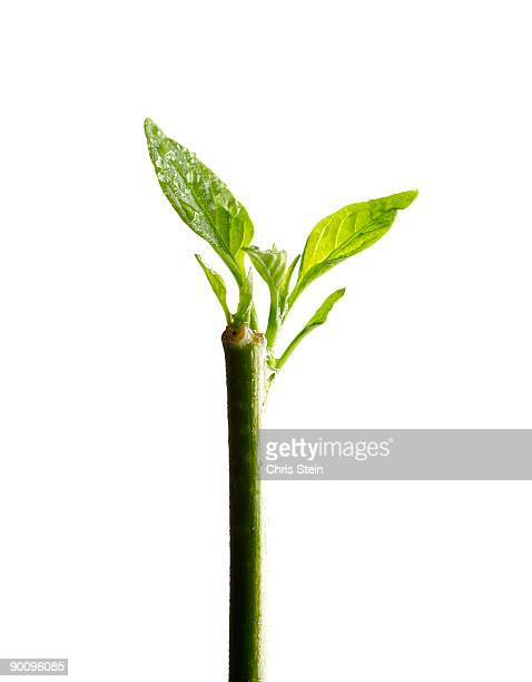 green buds - 茎 ストックフォトと画像