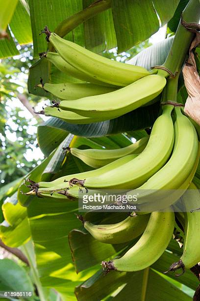 Green bunch of plantain bananas on the tree Plantain banana is a delicacy fruit common in the Latin American diet