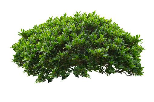 Green bush isolated on white background. 974523876
