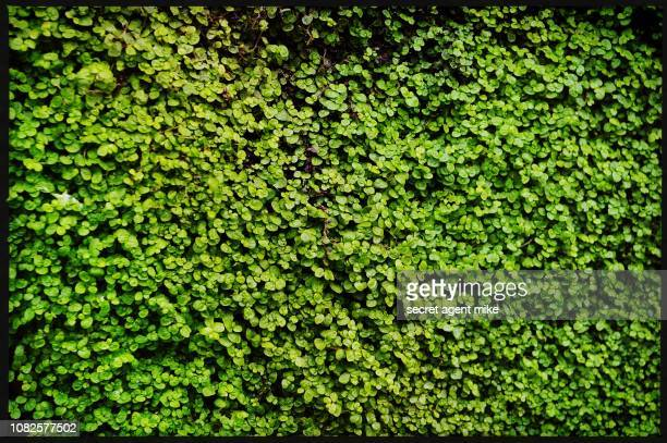 green bush - hedge stock pictures, royalty-free photos & images