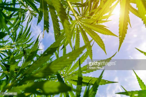 green bushes of marijuana. close up view of a young medical marijuana cannabis bud - hemp stock pictures, royalty-free photos & images