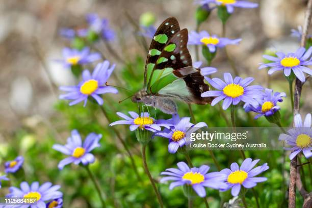 green butterfly on blue daisies - fiore di campo foto e immagini stock