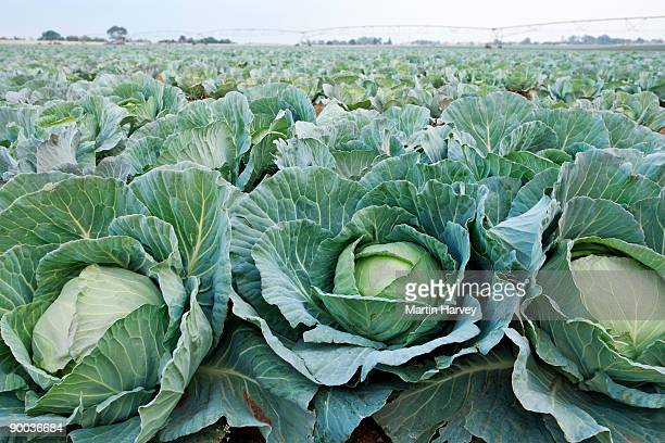 Green Cabbage (Brassica oleracea capitata) field.