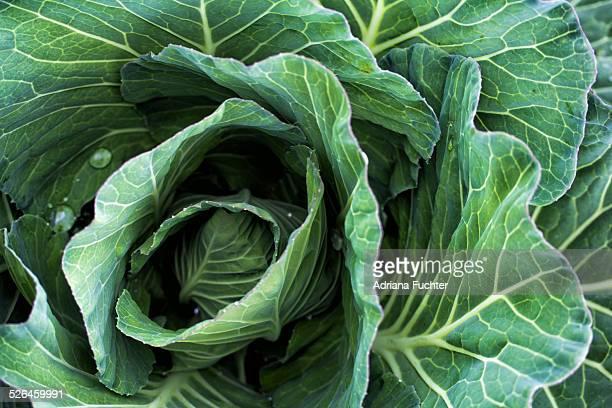 green cabbage in the garden - cavolo cappuccio verde foto e immagini stock