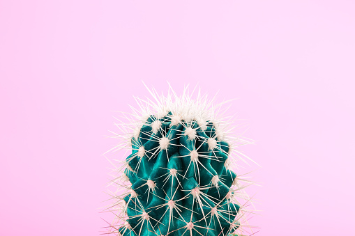 Green cactus on pastel pink background. Pop art minimalist design - gettyimageskorea